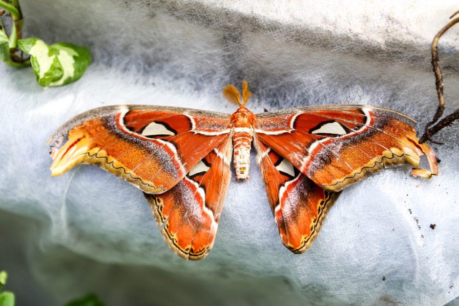 Ištroškę drugelių kaimynystės - Variantai drugelis strategija