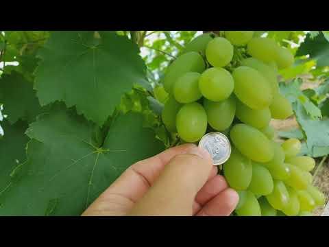 """""""Simon"""" vynmedžių pasirinkimo variantai)"""