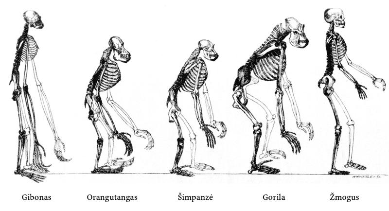 evoliucijos variantai)